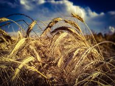 Free Ripe Wheat On Field Royalty Free Stock Photography - 95996957