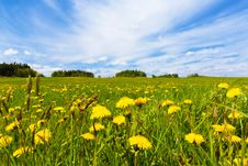 Free Dandelion Field In Spring Royalty Free Stock Photography - 95997027