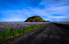 Free Track Across Moorland Covered With Purple Heather Royalty Free Stock Photos - 95997038