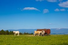 Free Grazing Cows Royalty Free Stock Photos - 95997048