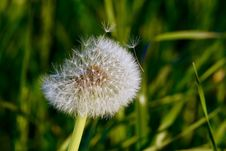 Free Dandelion Seed Pod Royalty Free Stock Photos - 95997168