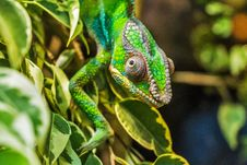 Free Green Reptile On Green Leaf Royalty Free Stock Photo - 95997315