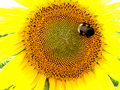 Free Sunflower And Bumblebee Stock Photography - 969442