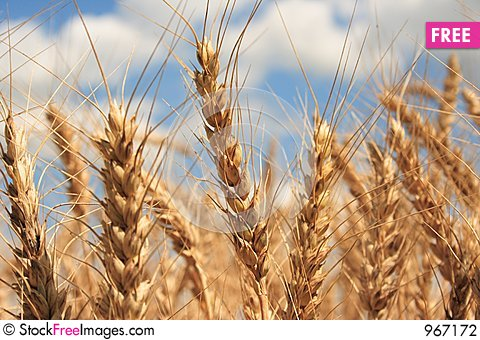Free A Wheat Field With Blue Sky Background Stock Photography - 967172