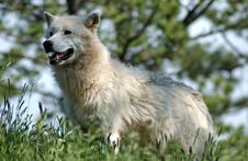 Arctic Wolf In Forest. Royalty Free Stock Images