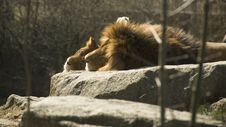 Free Lions In The Sun Stock Photos - 960563