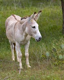 Free Donkey Royalty Free Stock Image - 961246