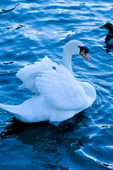 Free Swan Royalty Free Stock Photography - 961827