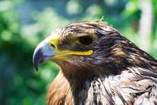 Free Wet Eagle Royalty Free Stock Photo - 961895