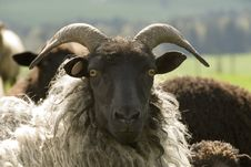 Free Sheep Stock Photography - 962242