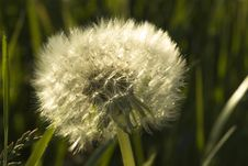Free Dandelion Royalty Free Stock Images - 962289