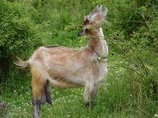 Free Goat Stock Photo - 962960