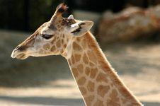 Free Giraffe Stock Images - 963094