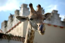 Free Giraffe Stock Photos - 963143