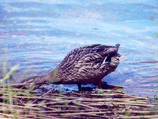 Free Female Mallard Duck Royalty Free Stock Photo - 963145