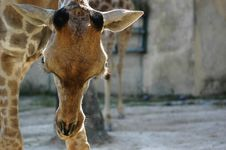 Free Giraffe Stock Photography - 963162