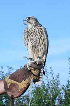 Free Falcon Royalty Free Stock Image - 963396
