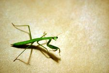 Free Praying Mantis Stock Photo - 963580