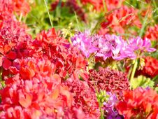 Free Flowers In The Street Royalty Free Stock Photography - 963607