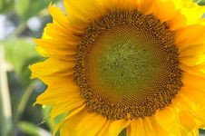 Free Sunflower Royalty Free Stock Images - 963669