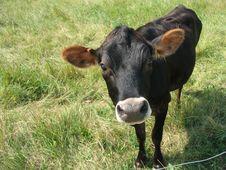 Free Black Cow Stock Image - 964571
