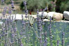 Free Butterfly And Lavender 2 Royalty Free Stock Photography - 964577