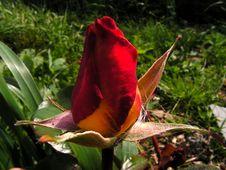 Free Rose Bud Stock Photo - 964590
