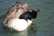 Goose Preening Stock Image