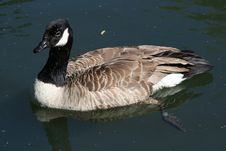 Free Tagged Goose Royalty Free Stock Image - 964776
