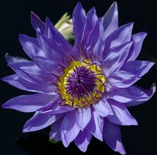 Free Waterlily Royalty Free Stock Photos - 964798