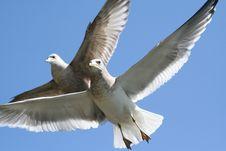 Free Seagulls Royalty Free Stock Photos - 964948