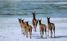 Deers On Ice River6 Royalty Free Stock Image