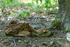 Newborn Fawn Royalty Free Stock Photos