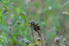Free Dragonfly Royalty Free Stock Photography - 965687