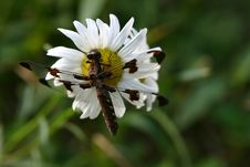 Free Dragonfly On Daisy Royalty Free Stock Images - 965689