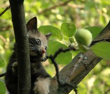 Free Skewbald Kitten And Green Apple Royalty Free Stock Image - 966236