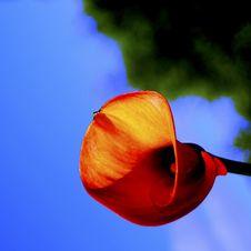 Calla Lily In Garden