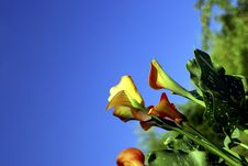 Free Calla Lily With Blue Sky Stock Images - 966324