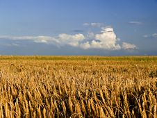 Free Wheat Field Stock Images - 966454