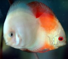 Free Discus Fish Royalty Free Stock Image - 966576