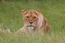 Free Lion Royalty Free Stock Image - 966626