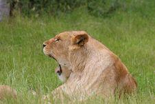 Lion Yawning Stock Image