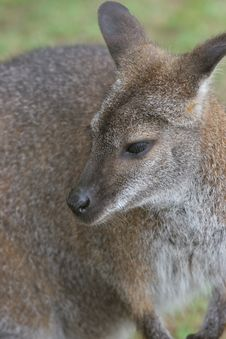 Free Wallaby Royalty Free Stock Images - 966639