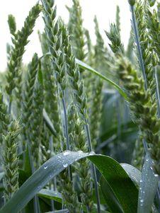 Free Wheat Royalty Free Stock Photo - 966705