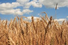 Free A Wheat Field With Blue Sky Background Stock Photo - 967140