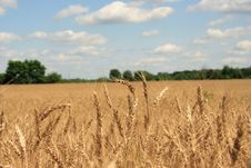 Free A Wheat Field With Blue Sky Background Stock Photography - 967202