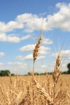 Free A Wheat Field With Blue Sky Background Stock Photography - 967232