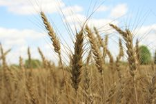 Free A Wheat Field With Blue Sky Background Stock Photography - 967272