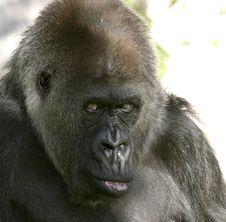 Free Gorilla Face Royalty Free Stock Photos - 967338