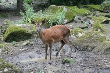 Free Deers 8 Stock Photos - 967723